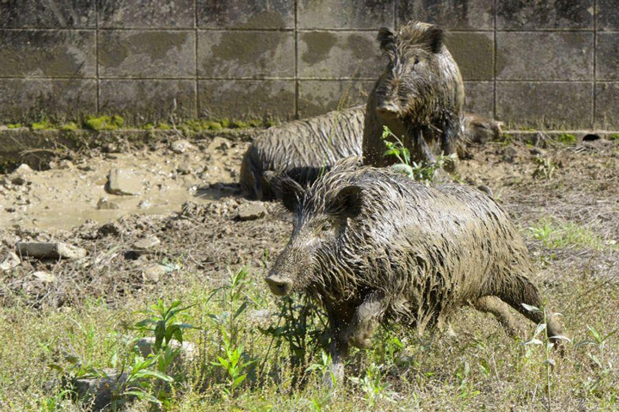 ぬた場で泥浴びをしてから、庭を走り回るイノシシ(写真はいずれも黒潮町大井川=島本正人撮影)