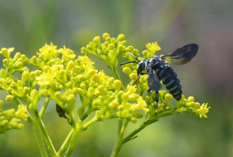 今年も飛び始めたブルー・ビー(北川村野友甲のモネの庭マルモッタン)