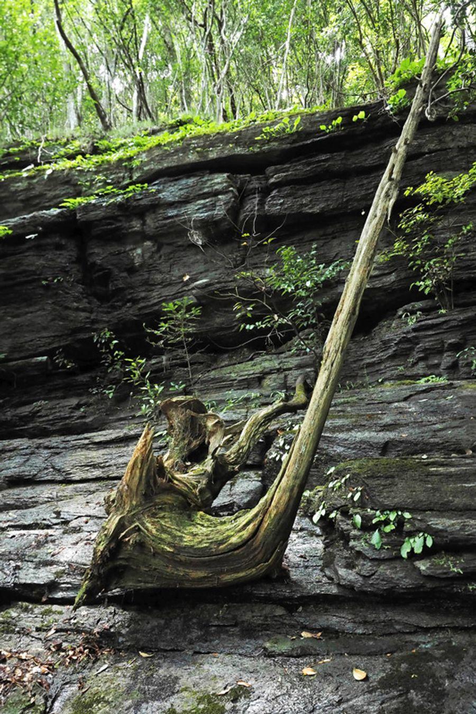 サックスのような形をした木が、絶妙な角度で岩に鎮座していた(いの町清水上分)