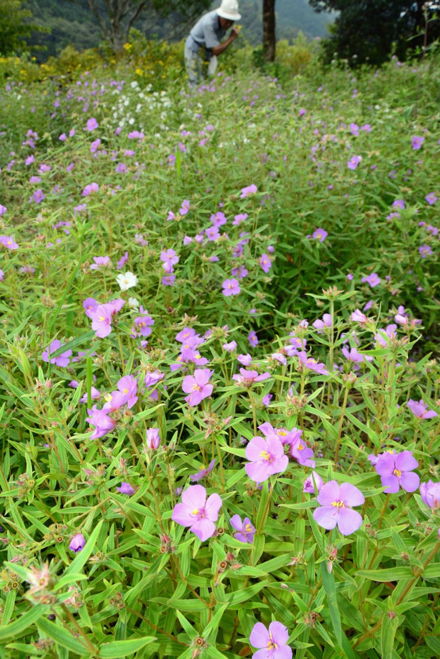 約4万株が咲きそろったヒメノボタン(三原村の星ケ丘公園)