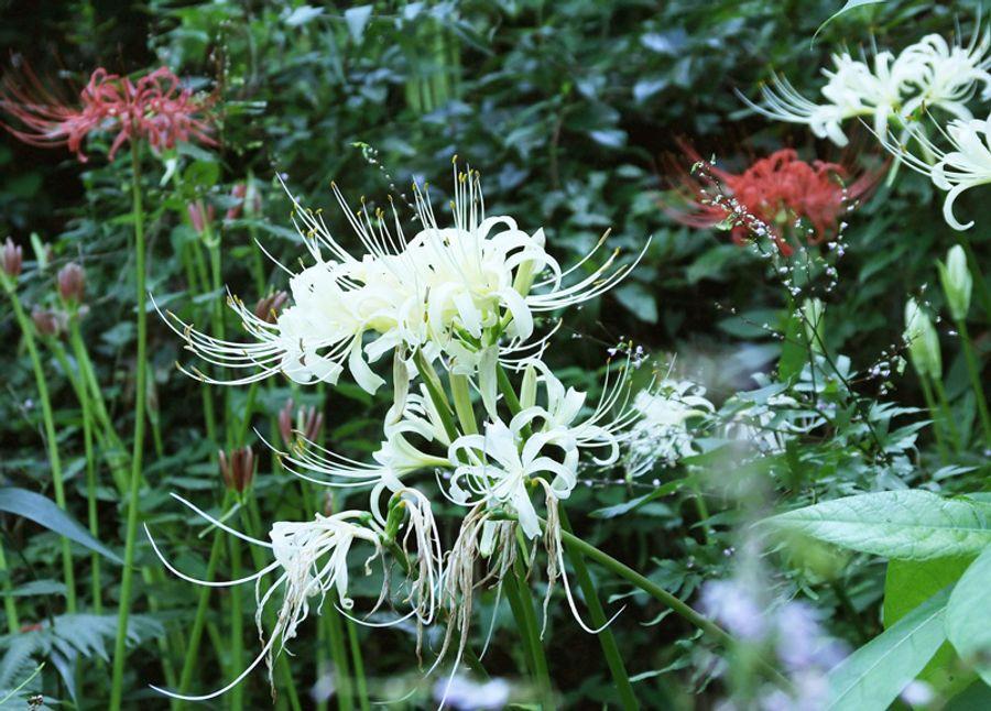 凜と咲く白い彼岸花。深紅の花に囲まれ、一段と映えている(香美市土佐山田町平山)