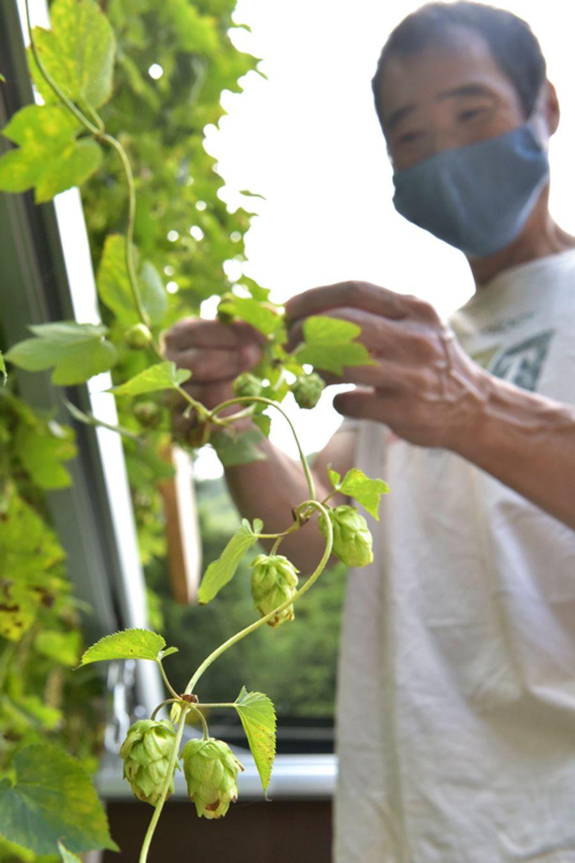 仁淀川町で栽培されたホップ。ケネス・ムカイさんが丁寧に摘み取った(同町下名野川)