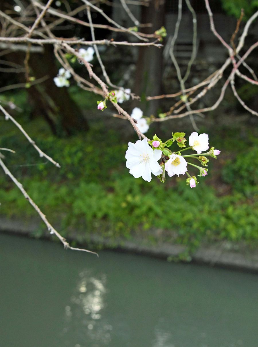 水路沿いでほろこび始めた十月桜(香美市土佐山田町山田)